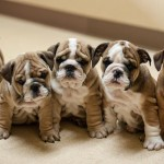 Emerald City Bulldog Pups